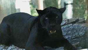 Black Jaguar by AdARDurden