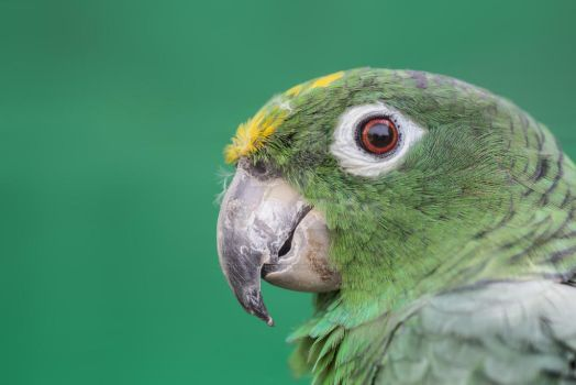 Green Parrot Close Up Photo by photographybypixie