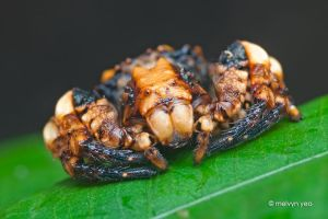 Bird-Dung Crab Spider, Phrynarachne sp. by melvynyeo