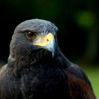 Harris Hawk by FurLined