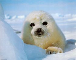 Baby Seal White by Sonishka