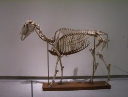 Horse skeleton by lasrinastock