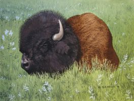 Bull Bison in Tall Grass by CitizenOlek