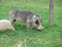Columbus zoo warthog! by TSofian