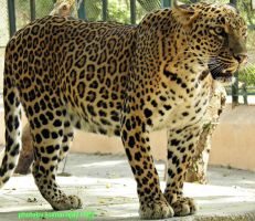 in zoo leopard 1 by kumarvijay1708