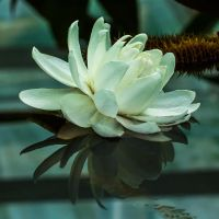 waterlily by Gobbliwink