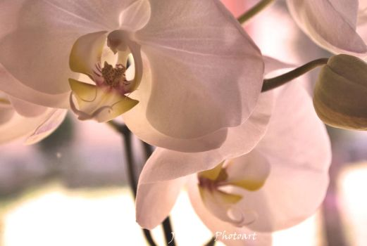 ~~*~~White Orchid~~*~~ by jasiemausie