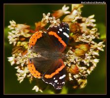 Red Admiral Again by boron