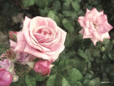 Pink Roses in Anzures 1 Vintag by ChristopherinMexico
