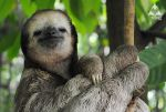 The Purest Sloth Face by Tri-Heart