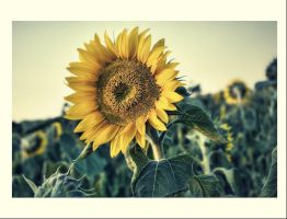 sunflower by pepej