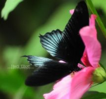 Asian Swallowtail by blackeyedcreep
