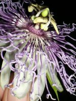 Passion Flower by Maeyliin
