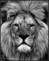 Leo in Black and White by Arawn-Photography