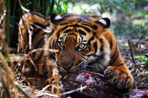 Tiger9 edited by Sabbie89