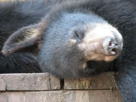 Resting Bear by picworth1000wrds