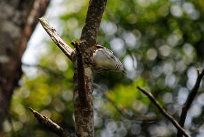 Black-and-white Warbler IV. by swampliquor