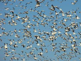 Snow Geese 10 by ShadowsStocks