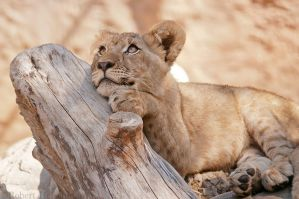 Lion Cub 0240 by robbobert