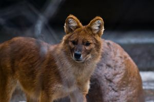 Dhole 2 by PaPeRDoLLLL