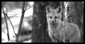 Baby Fox by thephotoxcore
