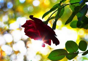 Afternoon Rose 11-10-10 by Tailgun2009