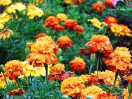 Marigolds by jim88bro