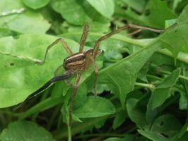 Rabid wolf spider injured 2 by rikumario