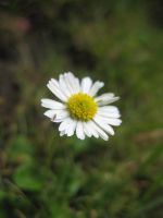 Little Insect on Daisy by DuchesseOfDusk