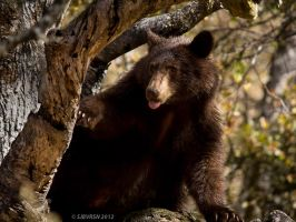 Black Bear 1 by sjbvrsn