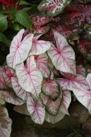 Heart Shaped Tropical Pink Leaves by GreenEyezz-stock