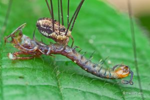 Harvestman eating centipede by melvynyeo