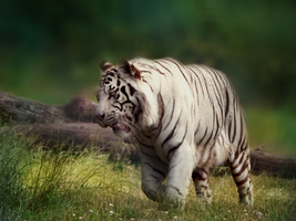 White Tiger by Dithpicable