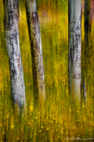 Autumn Aspen Recollections by kkart