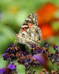 The Painted Lady by TheSleepyRabbit