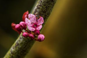 apple blossom by hubert61