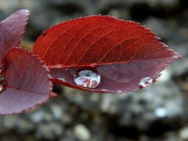 red leaf by alexandra-maria