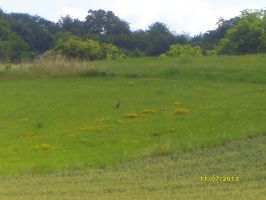 A hare or a Rabbit on the German meadow by MarieAngel04