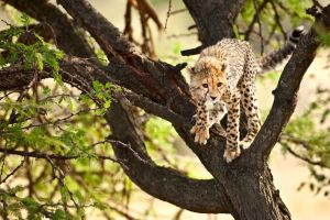 Cheetah 36 by catman-suha