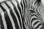 Zebra - African Wildlife - Classic Black and White by LivingWild