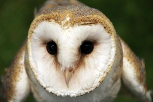 barn owl by Annemieps