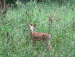 Fawns in the Meadow 1 by Windthin