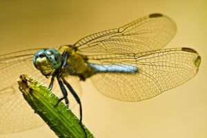 Keeled Skimmer 1 by dalantech