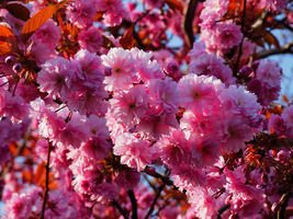 Pink Blossoms -2- by IoannisCleary