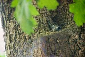 Chickadee In the Tree, Resting In the Nook by Miss-Tbones