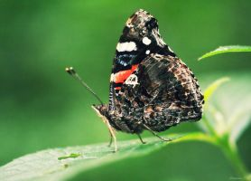 Red Admiral by Spademm
