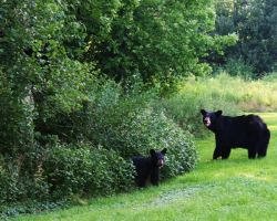 Black Bear And Cubs 2 by Xercesa
