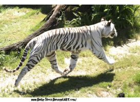 White Tiger Running by Della-Stock