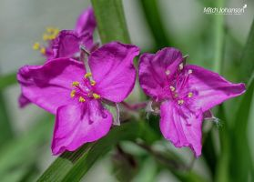 Two in Magenta HDR by mjohanson