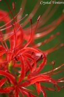 Red Spider Lily by poetcrystaldawn